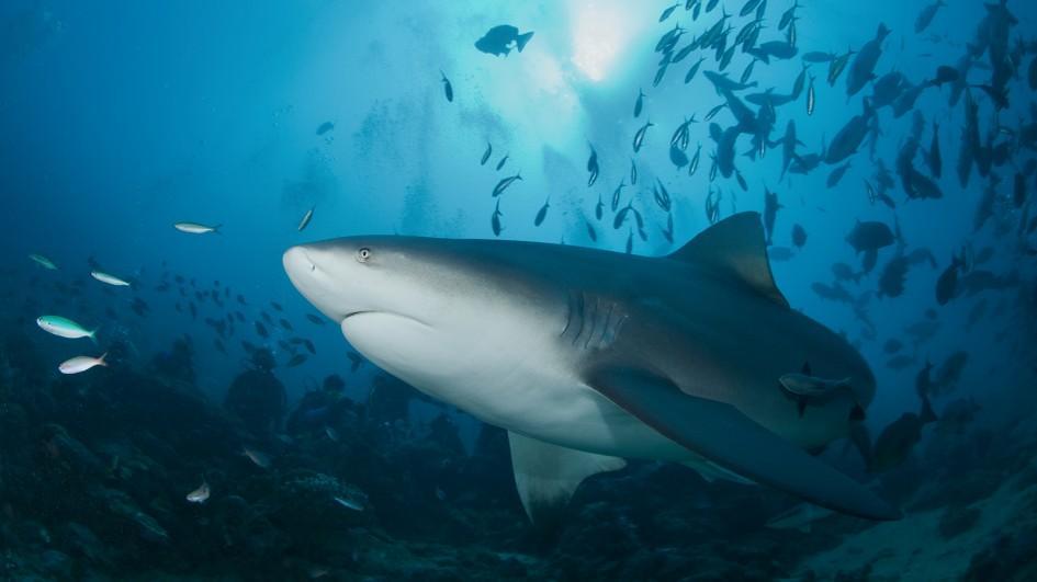 bull-shark-swimming-ocean-floor1.jpg.adapt.945.1