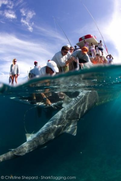 catch and release sharks