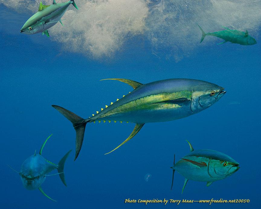 Yellowfin Tuna Destin