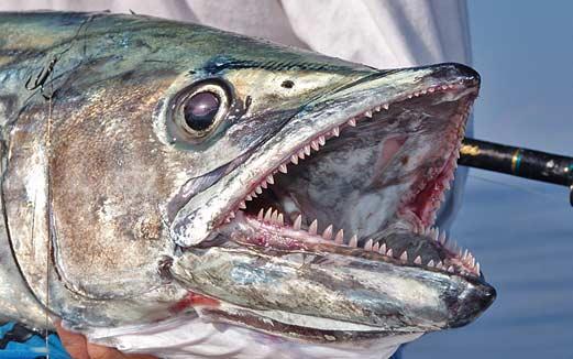 King Mackerel Teeth