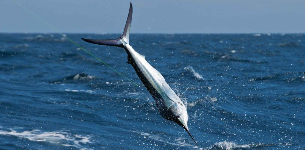 White Marlin Diving